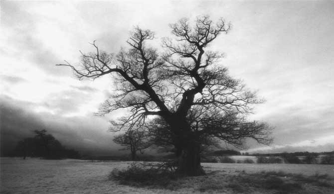 A leafless tree in Windsor Great Park.